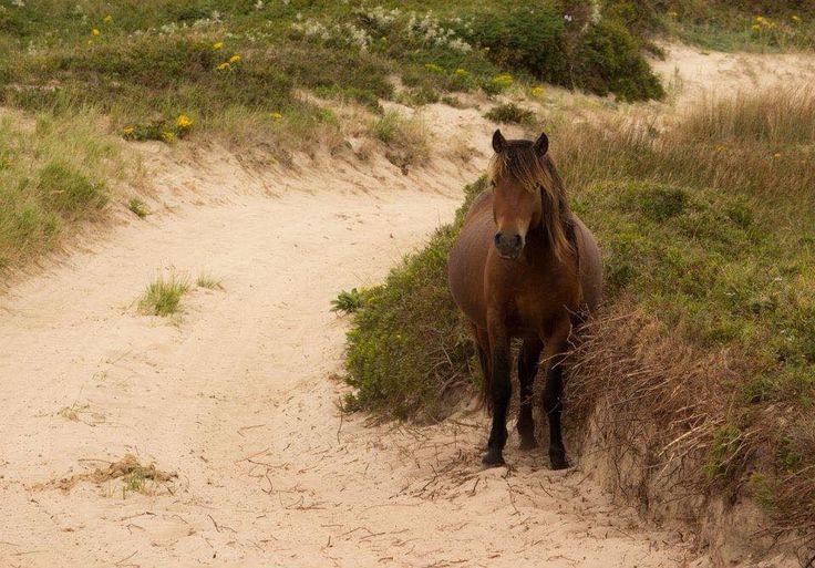 A sweet little Sable Island horse.