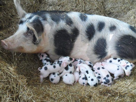 Pig and piglets or Dalmatian puppies?
