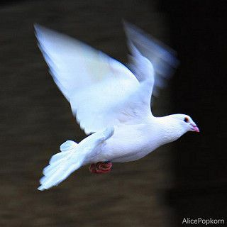 Just Like The White~Winged Dove 🎶 Sings A Song...