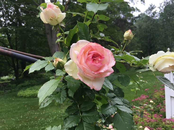 This is our one remaining rose. It is a climber called 'Eden'. In Seattle, where the climate is ideal for them, we had 23 rose bushes and trees. I was a slave to them, but they were lovely. Here they are more challenging, and I have moved on to less prickly interests. - J Scott Williams (Brookfield, CT)
