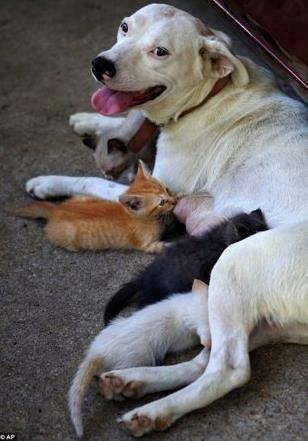 American Bulldog Adopts Litter of Orphaned Kittens