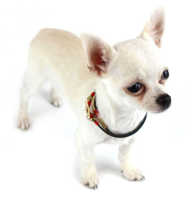 """So Coquette #dog golden necklace - the suitable gift to put under the Xmas Tree   Collana natalizia per cani """"So Coquette"""". Il regalo ideale da mettere sotto l'albero di Natale #Chic4dog"""