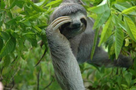¡Uuuy que pena, me acabo de levantar! :O ¡Baaah qué más da es domingo! :D ☀  #FamiliaGruvasa  #Dato Perezoso bayo o Oso perezoso, es una especie de perezoso propia de Centro y Sudamérica.