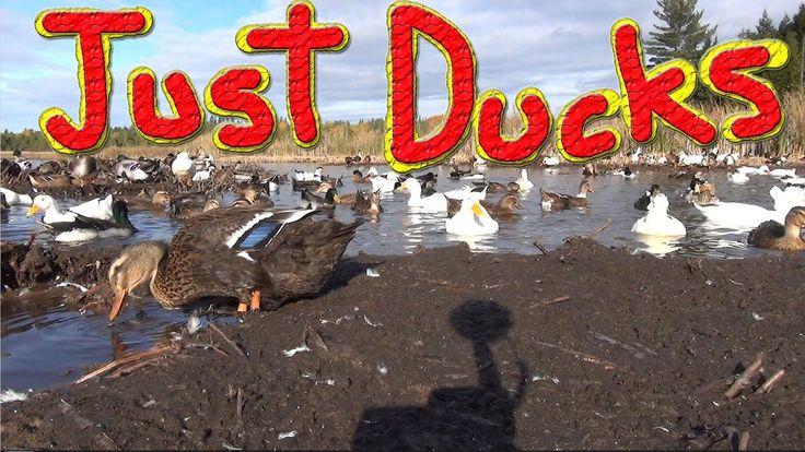 Ducks At The Creek (1080p 60fps HD)