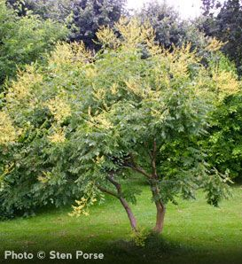 Koelreuteria paniculata  Fast Growing Tree  Tough and Durable Tree: Tolerates Air Pollution and Drought  Adapts to many Soil Types  Late Blooming Yellow Flowers  Grows 30' to 40' with 35' Spread  Zones 5 to 9