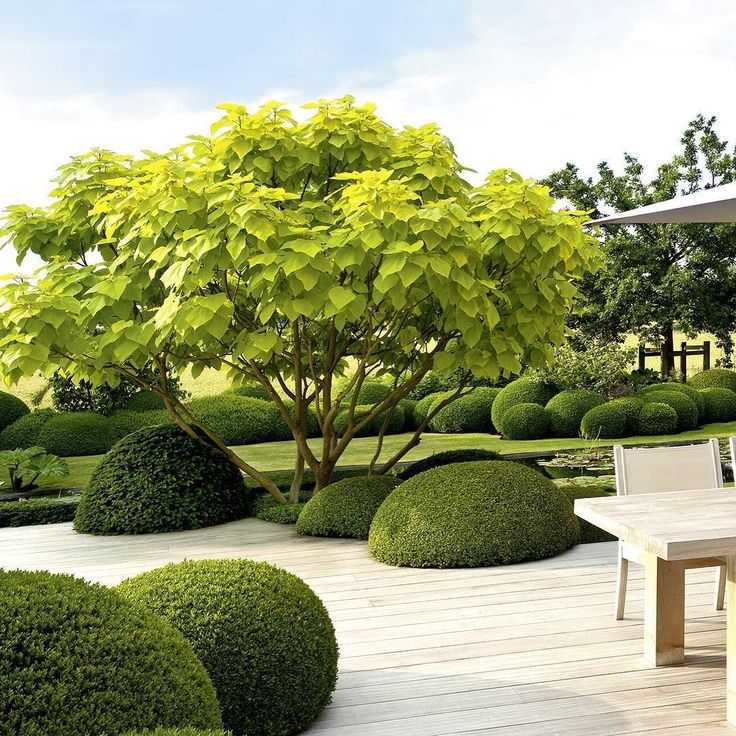 Mounds of Buxus break up the contemporary layout. Kids love running round these - I think it's like telly tubbie land! The single Catalpa becomes the main focal point