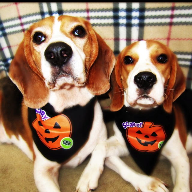 Must see Snoopy Beagle Beagle Adorable Dog - a29d19cfa8372507e8dd2c9f591918b8--beagle-pups-beagles  Trends_98369  .jpg
