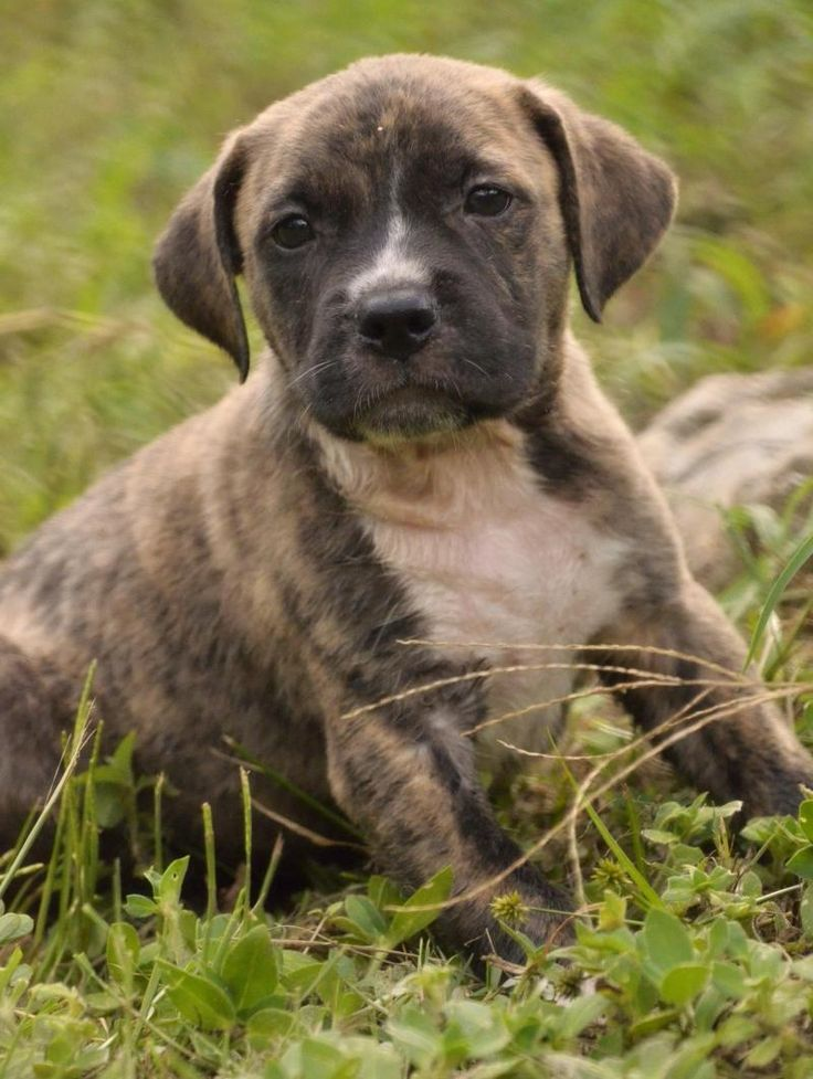 Magnum is an adoptable Labrador Retriever searching for a