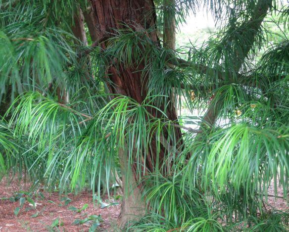 Siadopitys verticillata japanese umbrella pine at the for Unusual small trees
