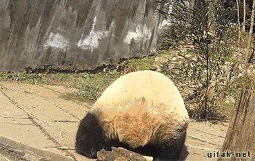 Panda Habitat Facts Funny Gif #8961 - Funny Panda Gifs  Funny Gifs  Panda Gifs