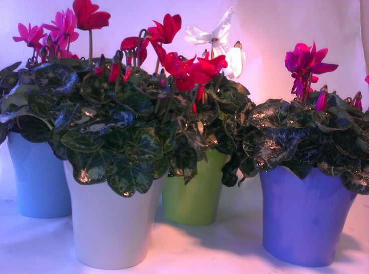 Large melamine pots with thick and full flowering cyclamen available at www.summerhillnurseries.com.au