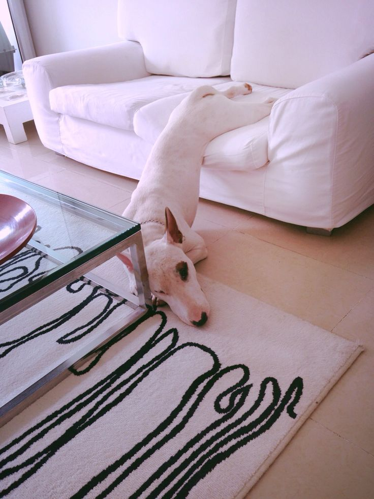 Sheldon English Bull Terriers are amazing.  It appears they can sleep in just about any position their body happens to slide into.