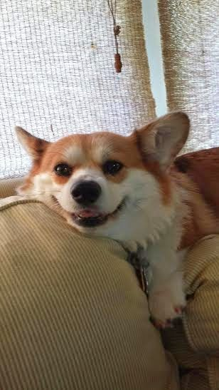 The Daily Corgi: Saturday Smiler: Poppy!