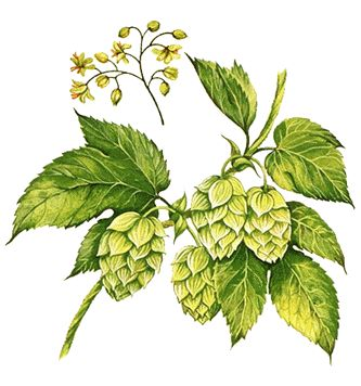 Put some dried Hops ( Humulus lupus) flower cones underneath your pillow to help relieve insomnia