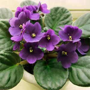 Saintpaulia ionantha Η αγριοβιολέτα ανακαλύφθηκε στα τροπικά δάση της οροσειράς Ουζαμπάρα της ανατολικής Αφρικής, στα τέλη του 19ου αιώνα. Σύντομα έγινε πολύ δημοφιλές φυτό εσωτερικού χώρου. Ανήκει στην οικογένεια των γεσνεριίδων. Τα άνθη της είναι μπλε - μωβ και έχουν λεπτούς μίσχους. Τα φύλλα της είναι σκούρα πράσινα και χνουδωτά.