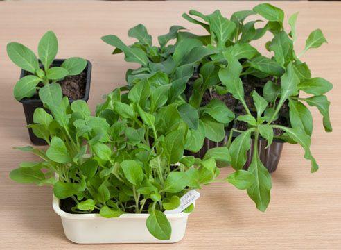 петуния, выращивание рассады, подросшая рассада