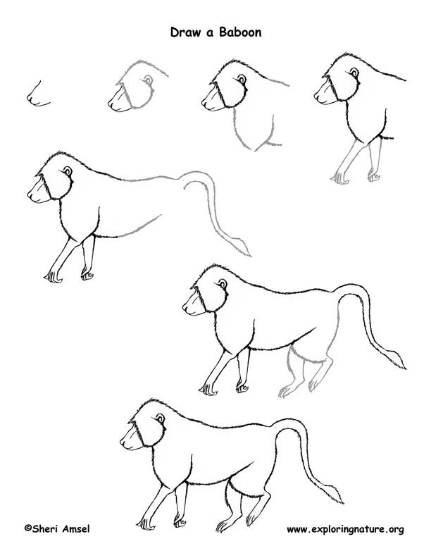 How to draw a baboon. For African Savannah week.