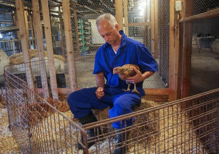Perdue Farms Signs Up For A Chicken Welfare Revolution : The Salt : NPR