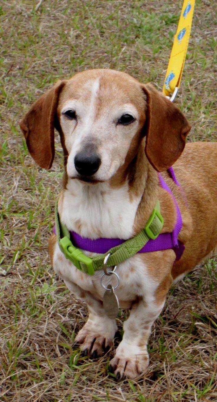 Adopt DARIA on Adoptable dachshund dog, Lake animals