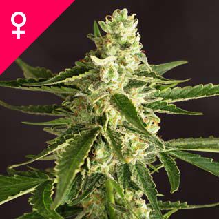 Amnesia Feminized Seeds. Feminized Amnesia cannabis seeds produce a harvest that retains all the best traits of the regular version – a soaring psychedelic high, relatively short flowering time and great big yield.