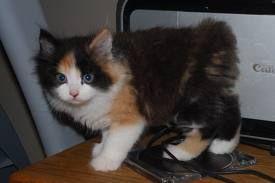Cymric Kitten Pictures