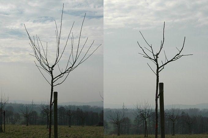 Drittes Standjahr vor und nach dem Schnitt - Foto: Hans-Joachim Bannier
