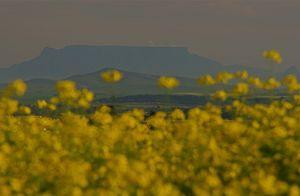 Table Mountain - canola