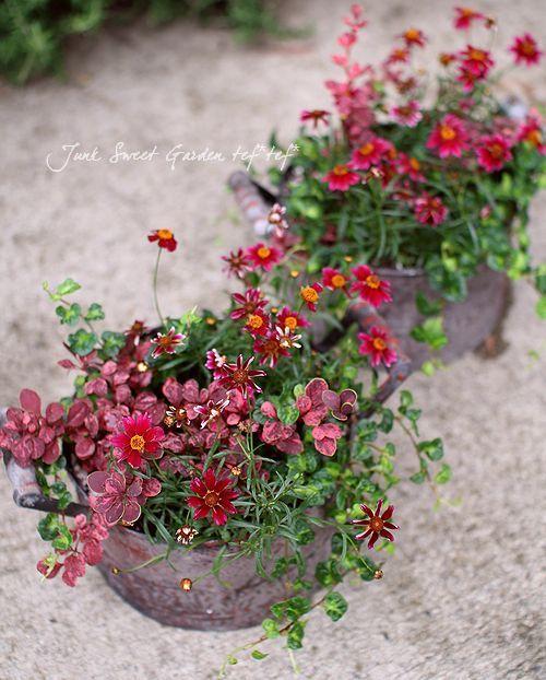 Junk sweet Garden  tef*tef* コレオプシス、プミラ『ムーンライト』低木のメギ『ローズクロー』: