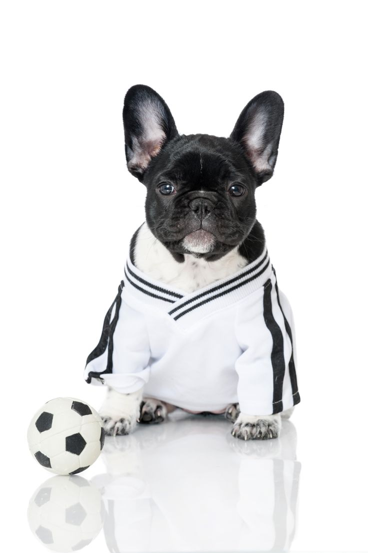 "There no les Bleus for Team France when you've got a breed as cute as the French Bulldog representing your country. These adorable pups were selectively bred in France from early Bulldogs into a ""toy"" Bulldog and are known for their characteristic ""bat"" ears #WorldCupPups"