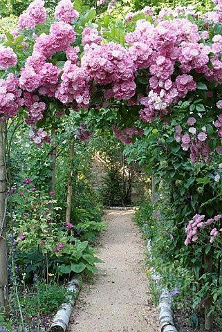 Climbing roses on garden arbor