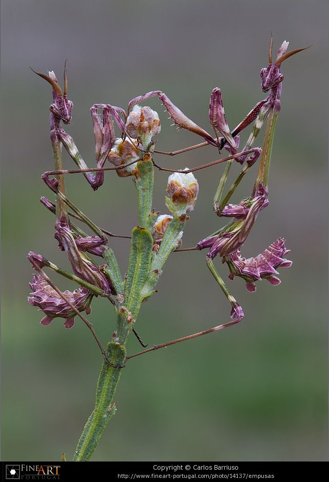 Empusas ( purple lady mantises decked out for a night on the town)