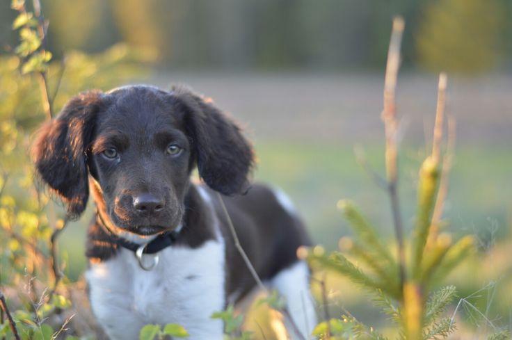 Kleiner Münsterländer puppy