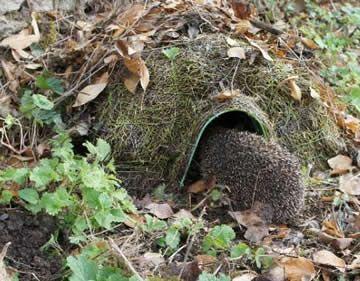 Egels helpen met winterslaap: beschutting en voeding voor egels in de winter
