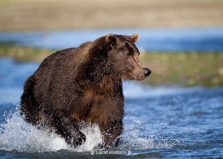 5 amazing facts about grizzly bears