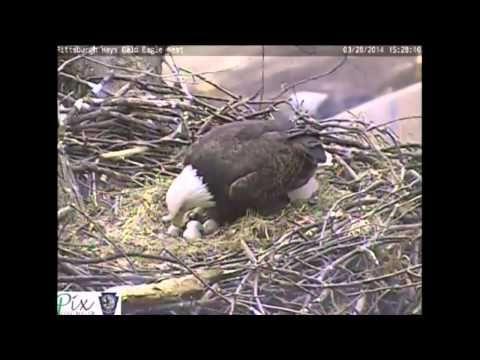 Live webcam eagle nest in pittsburgh