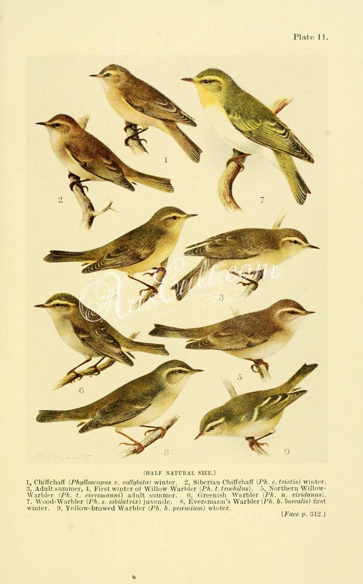 birds-09617 Chiffchaff, Siberian Chiffchaff, Willow Warbler, Northern Willow Warbler, Greenish Warbler, Wood Warbler, Eversmann's Warbler, Yellow-browed Warbler ArtsCult.com Artscult ArtsCult vintage printable public domain 300 dpi commercial use 1800s 1700s 1900s Victorian Edwardian art clipart royalty free digital download picture collection pack paintings scan high qulity illustration old books pages supplies collage