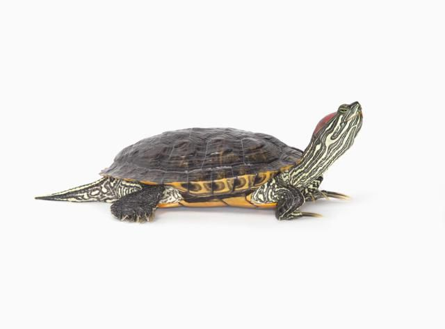 Considering a Pet Turtle? 6 Things to Know About Red-Eared Sliders: Red Eared Sliders Get Big
