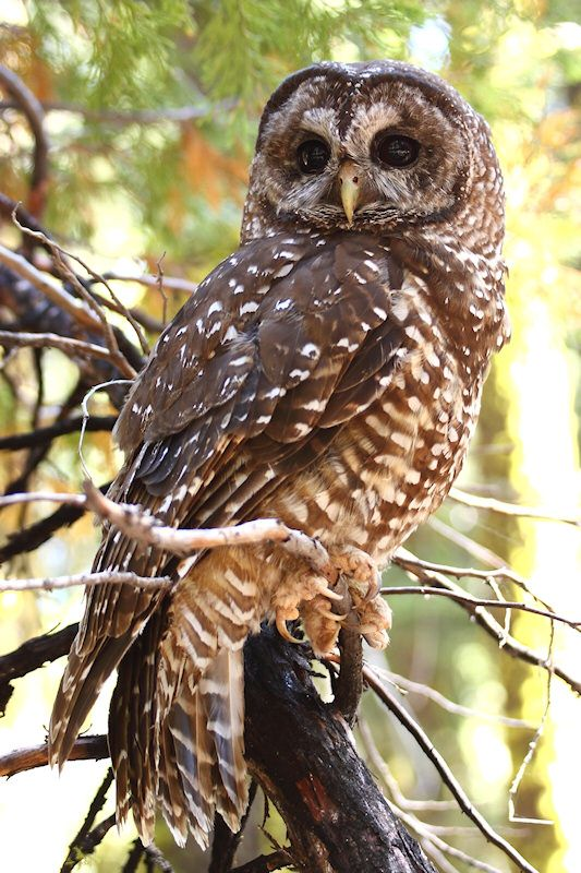 Spotted Owl (Strix occidentalis). Photo by Kameron Perensovich.