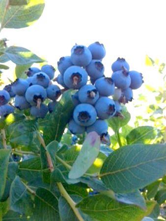Blauwe bessen planten, kweken - recepten blauwe bessen of Vaccinium corymbosum
