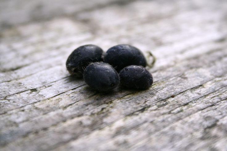 Blue honeysuckle berries