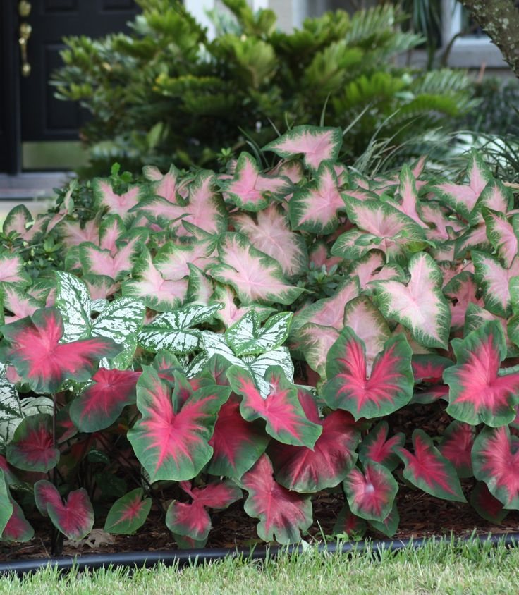 If you live in the northern half of the U.S., you may think caladiums are only suitable for southern gardens. Not so! The photo above was taken in a zone 6 garden in New Jersey, and we have customers from Pennsylvania to Iowa getting the same great results. During the summer, most of the country