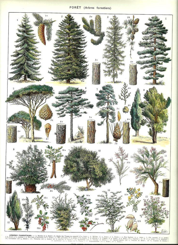 """Vintage FOREST TREES poster - Vintage Botanical Print - 1930 9"""" x 12"""". $14.00, via Etsy."""