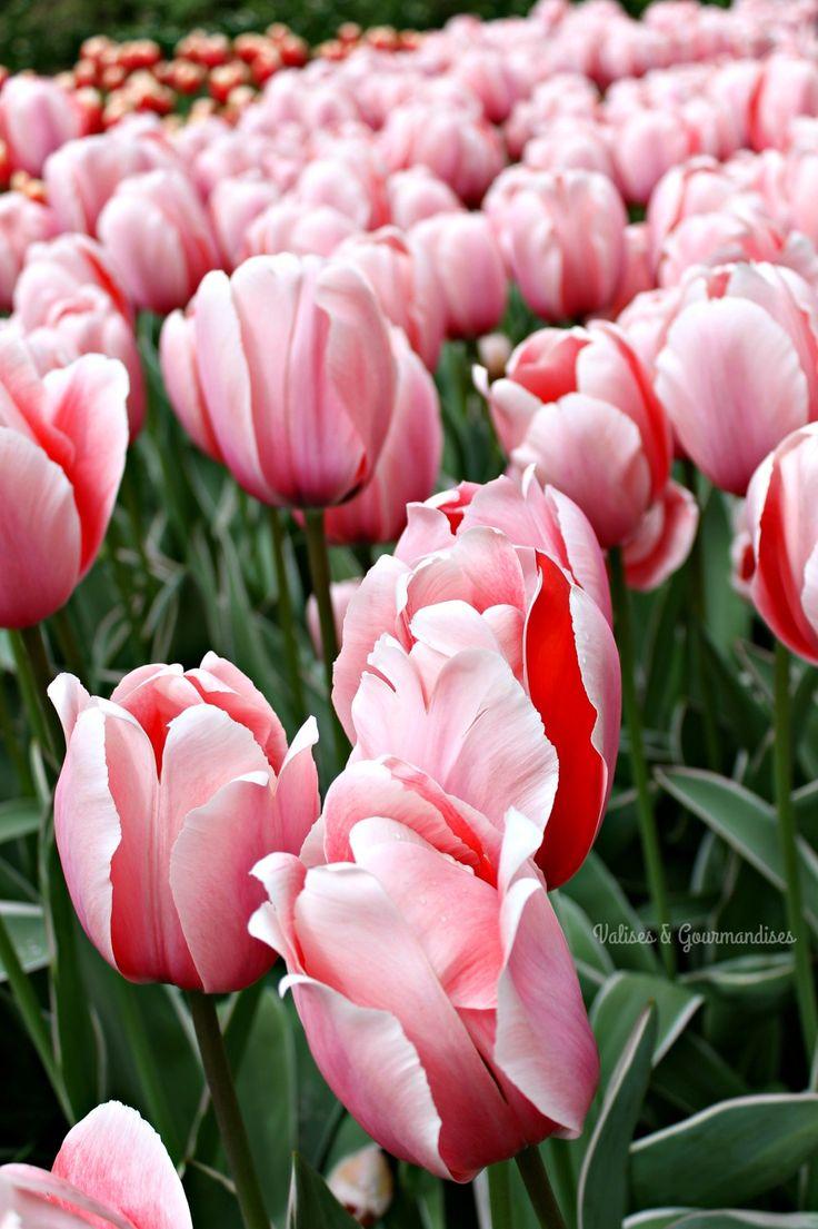 Best 25 tulip season ideas on pinterest white tulips for What season are tulips