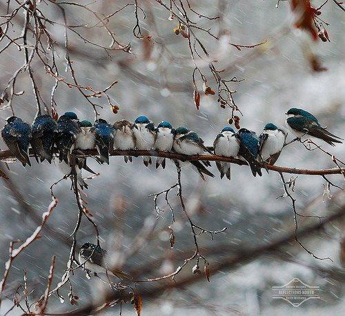sweet little winter blue birds