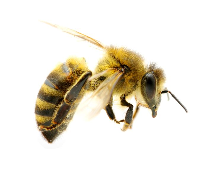 Honey Bees — Crafthubs
