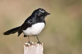 Image result for willywagtails