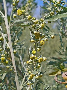 Artemisia absinthium (absinthium, absinthe wormwood, wormwood, common wormwood, green ginger or grand wormwood) is a species of wormwood, native to temperate regions of Eurasia and northern Africa.