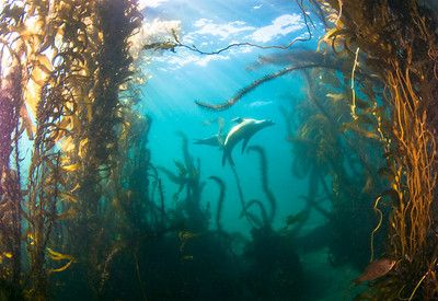 Diving the Channel Islands (California)  sea lions in kelp, anacapa island