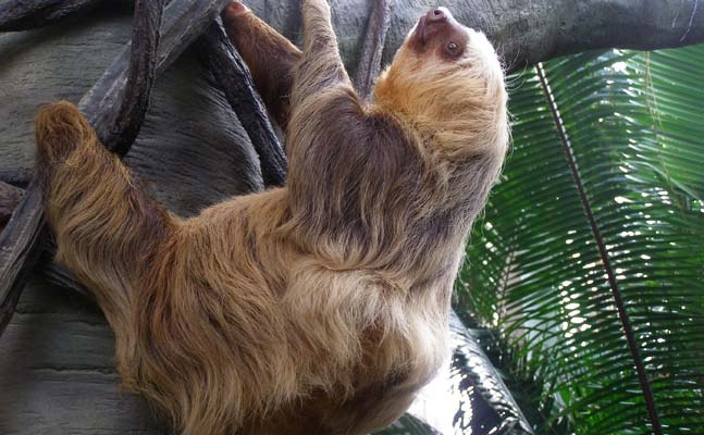 The sloth at the Como Zoo. She is not behind any sort of caging. So cute!!!!