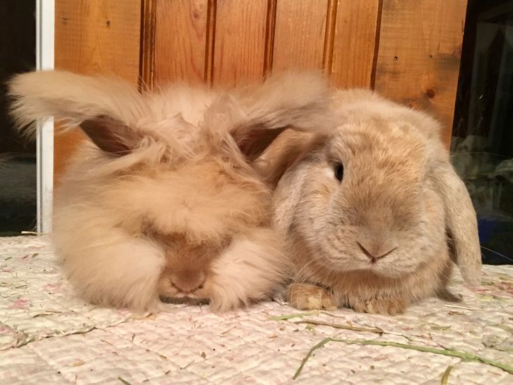 My Sweet Lilac Tort Bunnies Baby English Angora And Adult